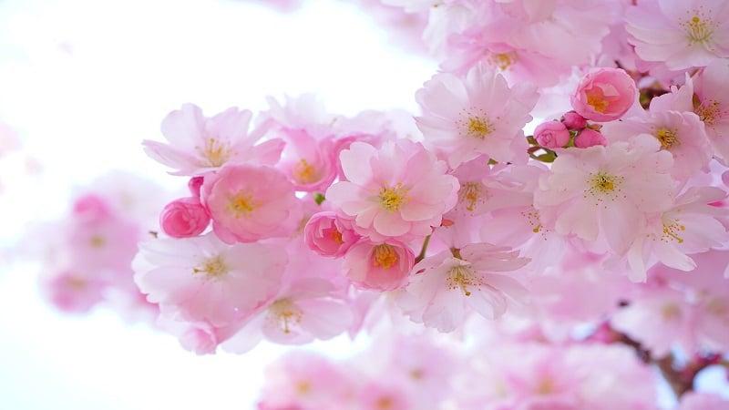 幸せな気分になる淡いピンク