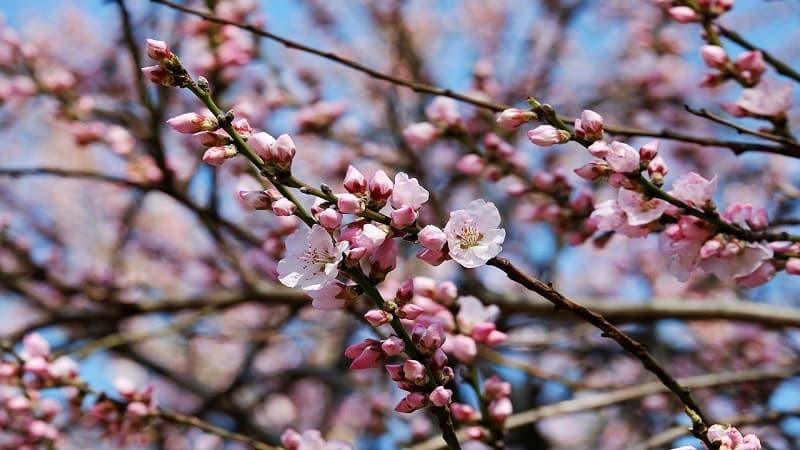 日本人が桜・花見好きな理由:春を知らせるサイン