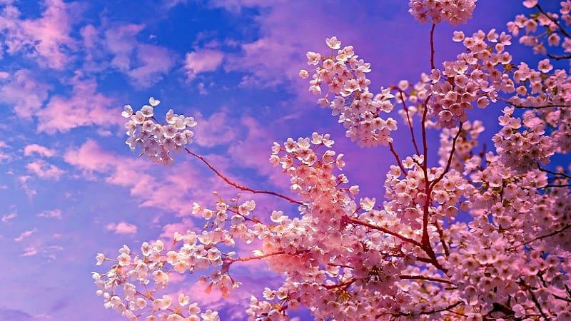 日本人が桜・花見が好きな理由:綺麗・美しい