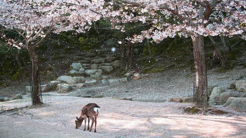 日本人が桜・花見が好きな理由:短命