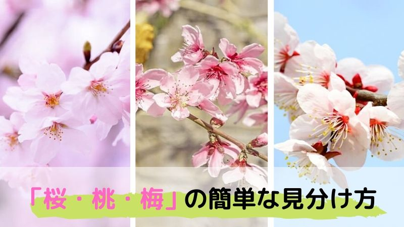 間違えやすい「桜・桃・梅」の花の簡単な見分け方