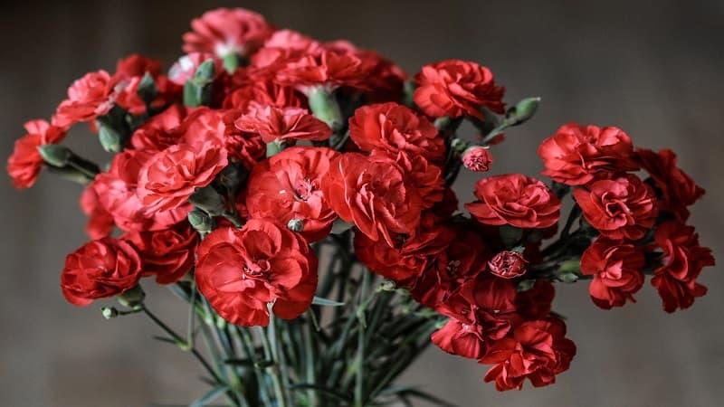 母の日にカーネーションを贈る理由と各色の花言葉