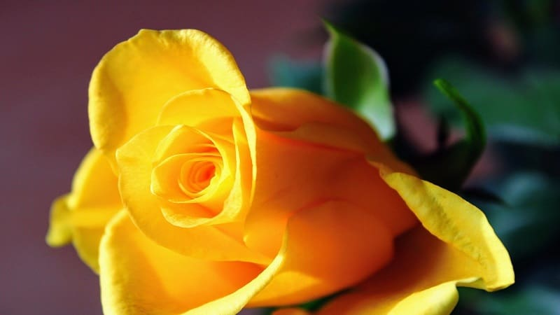 父の日に贈る定番の花は「黄色いバラ」。その理由は?