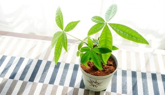 初心者でも育てやすい観葉植物「パキラ」