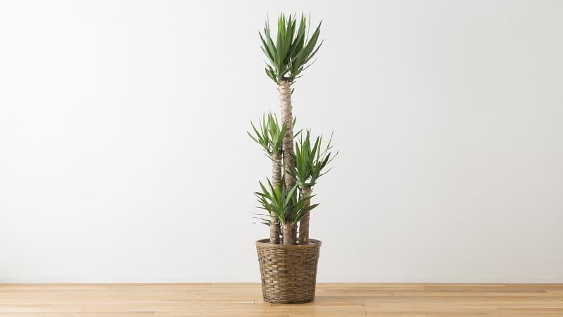 初心者でも育てやすい観葉植物「ユッカ」