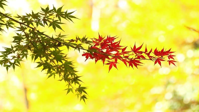 紅葉が見頃の時期はいつ?紅葉前線と気温が目安